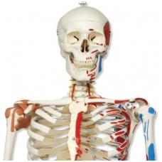 """Super žmogaus skeleto modelis """"Sam"""" (lankstus, su raumenimis ir raiščiais; tvirtinimas prie dubens)"""