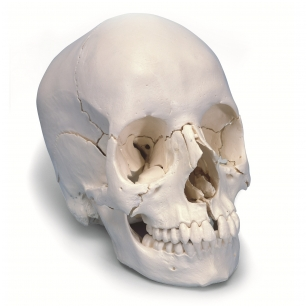 Suaugusiojo žmogaus kaukolės modelis, 22 dalys