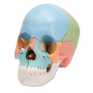 Suaugusiojo žmogaus kaukolės modelis, 22 dalys (spalvota didaktinė versija)