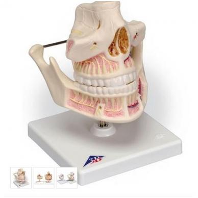 Suaugusiojo dantys
