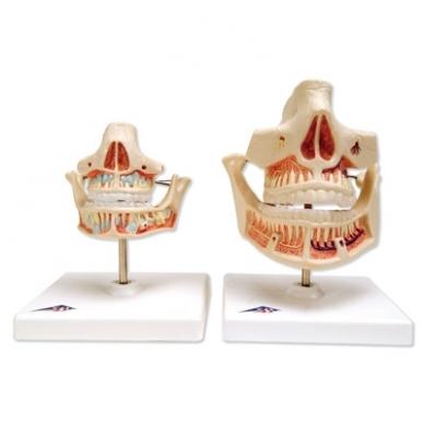 Suaugusiojo dantys 2