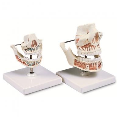 Suaugusiojo dantys 3