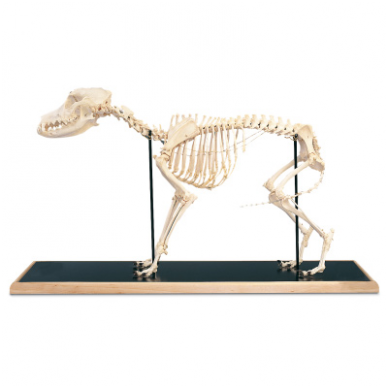 Šuns skeleto modelis