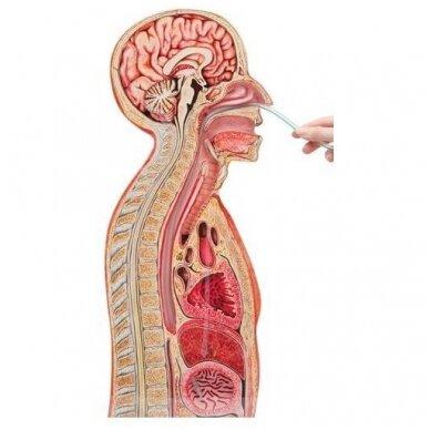Tepinėlių iš paciento nosiaryklės ir ryklės paėmimo mokymo, nazogastrinės intubacijos modelis 2