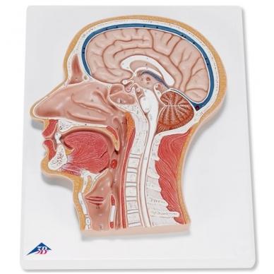 Vidinės galvos dalies modelis