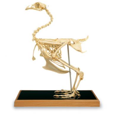 Vištos skeleto modelis