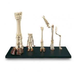 Žinduolių kojų modelis