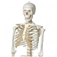 """Žmogaus skeleto modelis """"Stan"""" (natūralaus dydžio)"""