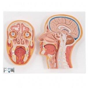 Žmogaus galvos modelis