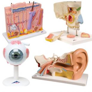 Žmogaus jutiminių organų anatominių modelių rinkinys