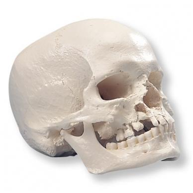 Žmogaus kaukolės modelis su skeltu žandikauliu ir gomuriu