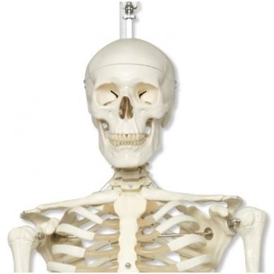 """Žmogaus skeleto modelis """"Stan"""" (kabantis)"""