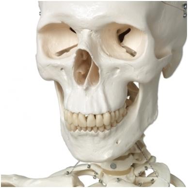 """Žmogaus skeleto modelis """"Stan"""" (kabantis) 2"""