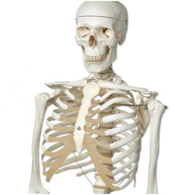 """Žmogaus skeleto modelis """"Stan"""" (kabantis) 3"""