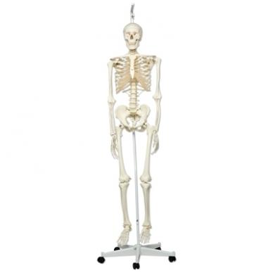 """Žmogaus skeleto modelis """"Stan"""" (kabantis) 4"""