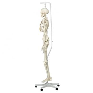 """Žmogaus skeleto modelis """"Stan"""" (kabantis) 5"""