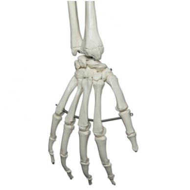 """Žmogaus skeleto modelis """"Stan"""" (kabantis) 7"""