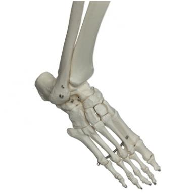 """Žmogaus skeleto modelis """"Stan"""" (kabantis) 8"""