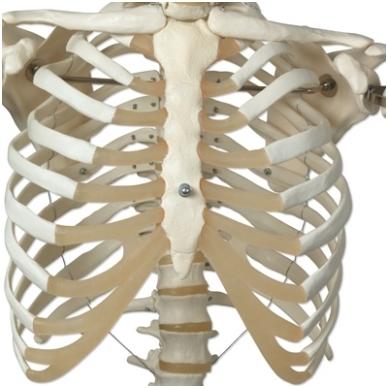 """Žmogaus skeleto modelis """"Stan"""" (kabantis) 9"""
