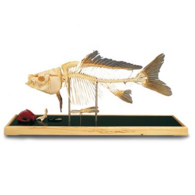 Žuvies skeleto modelis